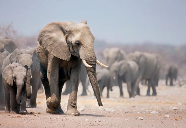 Фотообои слоны идут (animals-0000110)