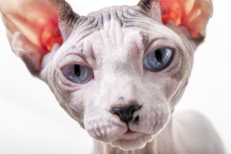 Фотообои кот Сфинкс (animals-0000443)