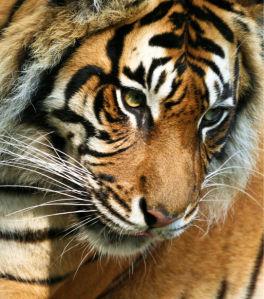Фотообои Тигр портрет (animals-0000449)