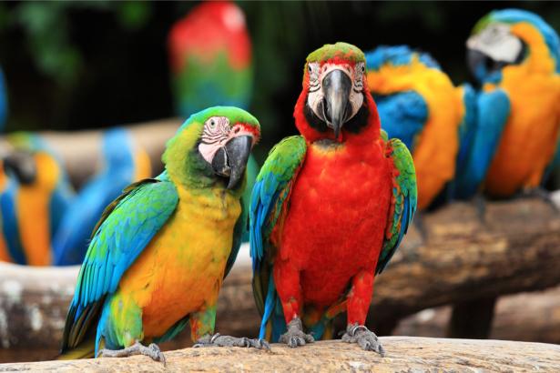 Фотообои разноцветные попугаи ара (animals-0000488)