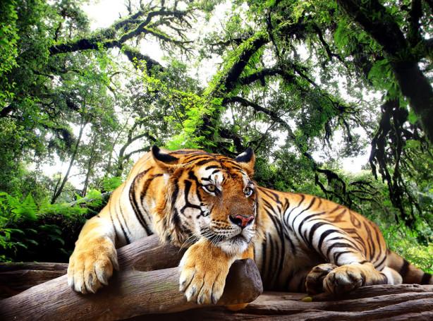 Фотообои Отдыхающий тигр (animals-513)
