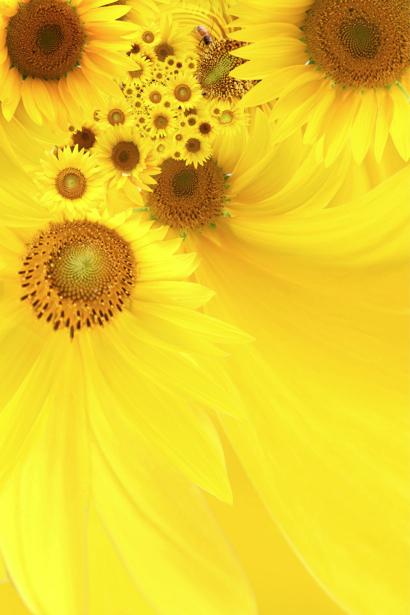 Фотообои на стену цветы -  Подсолнух (flowers-0000187)