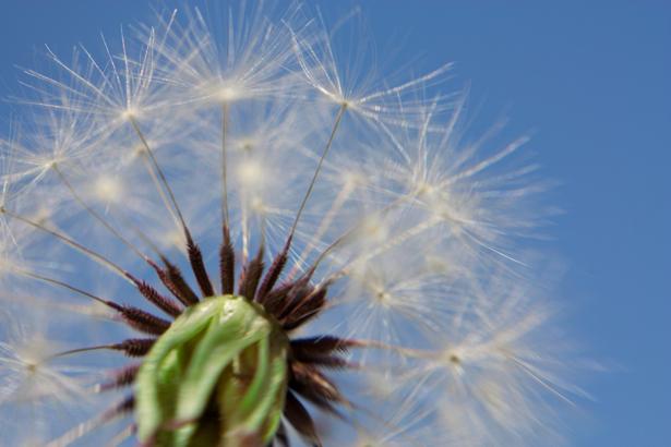 Цветок фото обои Одуванчик (flowers-0000480)
