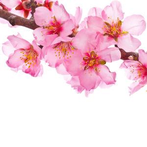 Фотообои розовые цветы сакуры (flowers-765)