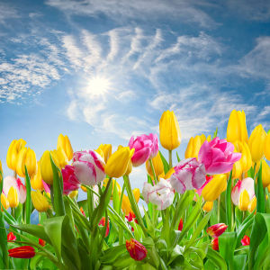 Фотообои веселые тюльпаны (flowers-788)