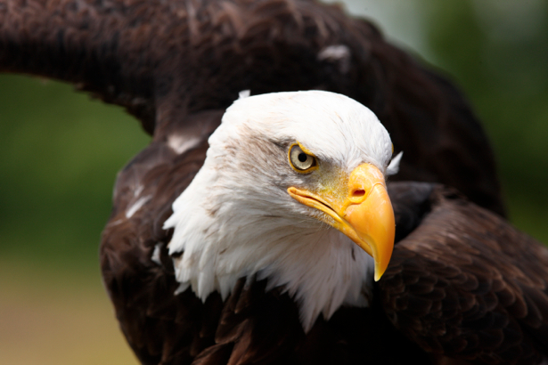 Фотообои орел в полете (animals-0000034)