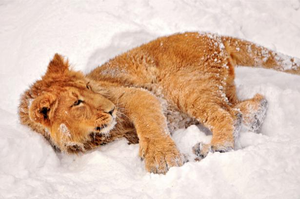 Фотообои на снегу лев львица (animals-0000058)