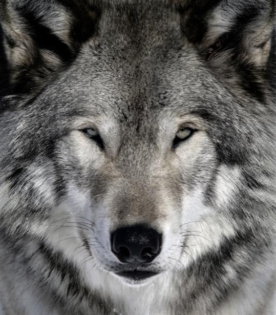 Фотообои хитрый волк (animals-0000224)