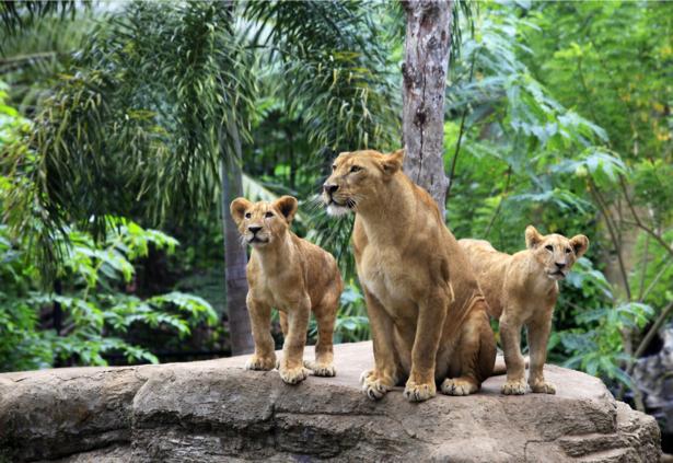 Фотообои лев, львята (animals-0000379)