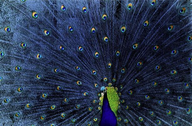 Фотообои синий Павлин (animals-0000403)