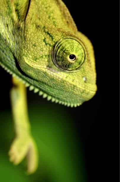 Фотообои портрет Хамелеона (animals-0000427)