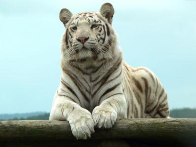 Фотообои Белый тигр (animals-0000468)