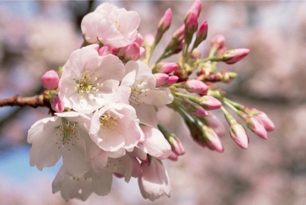 Фотообои на стену цветы Цветущая ветка (flowers-0000017)