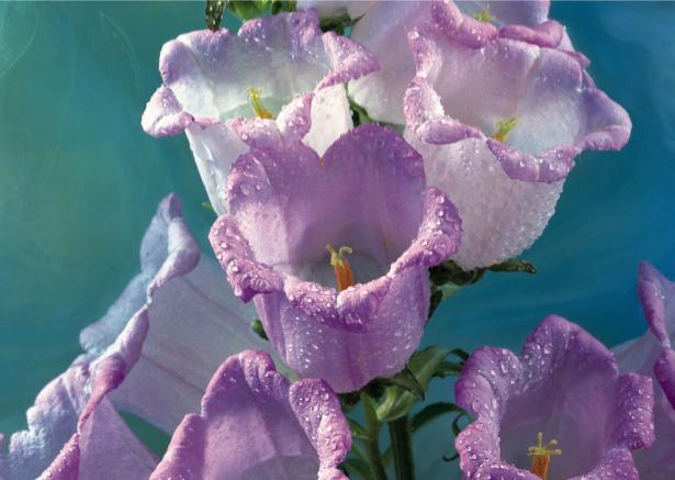 Лиловые колокольчики Обои для стен фото (flowers-0000136)