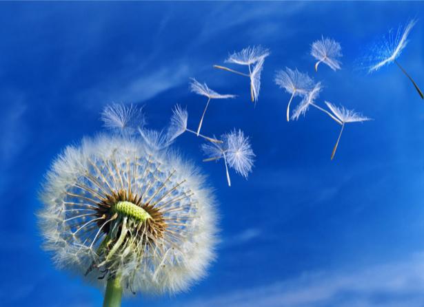 Фото обои цветок Одуванчик (flowers-0000475)