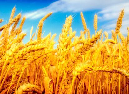 Фотообои с природой пшеничное поле (nature-00012)