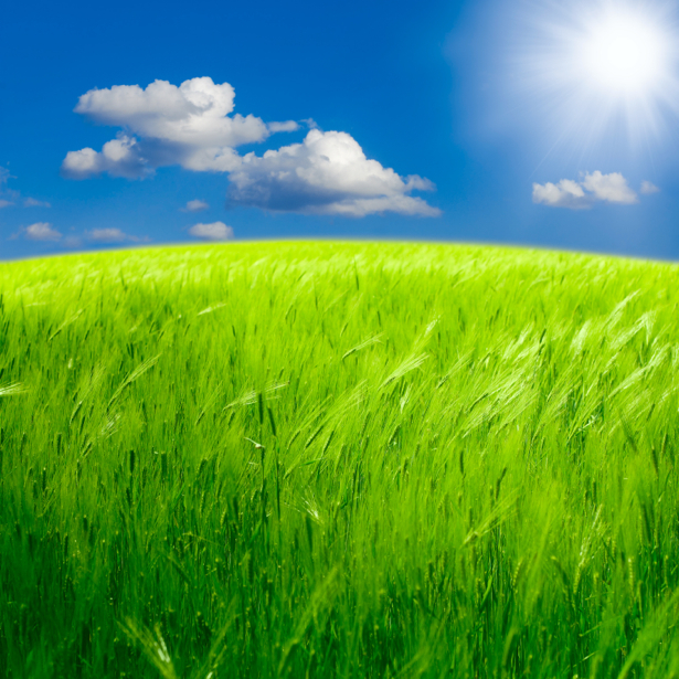 Фотообои поле зеленая пшеница (nature-00574)