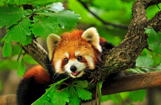 Фотообои красная панда (animals-0000061)