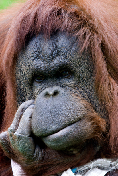 Фотообои обезьяна горилла (animals-0000101)