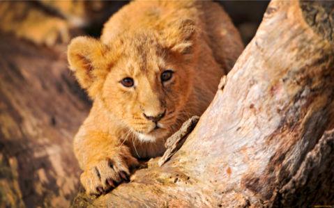 Фотообои львенок (animals-0000131)