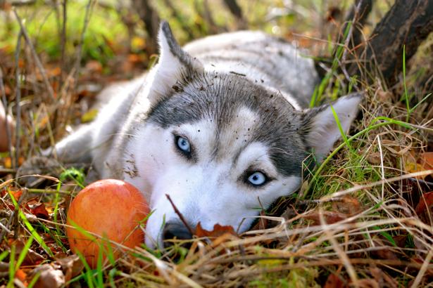 Фотообои собака Сибирская хаски (animals-0000236)