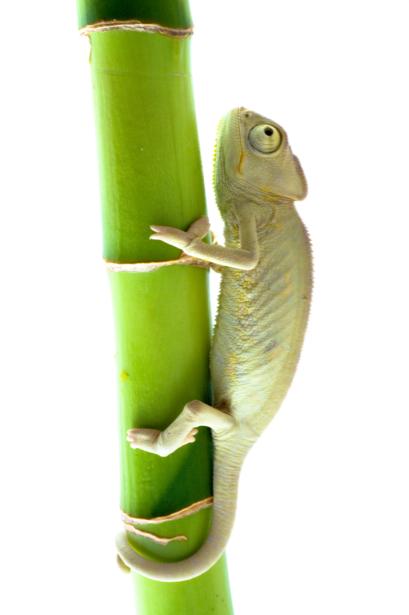 Фотообои хамелеон на бамбуке (animals-0000276)