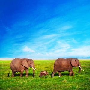 Фотообои Семья слонов (animals-0000436)