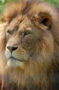 Фотообои фото Льва (animals-0000454)