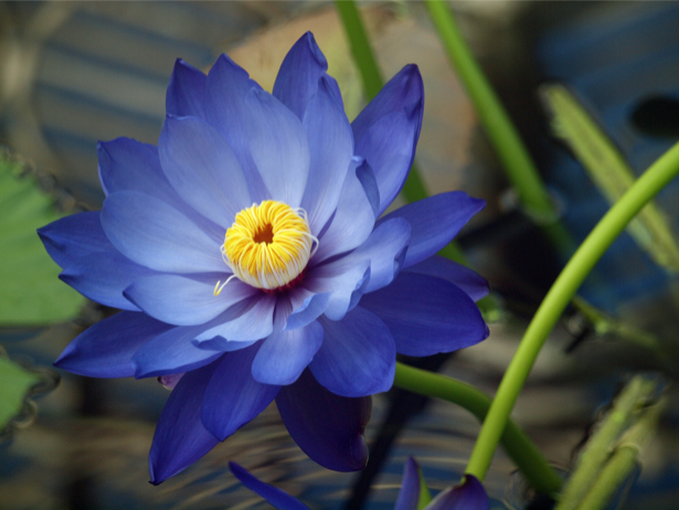 Цветы обои фото Синий лотос (flowers-0000115)