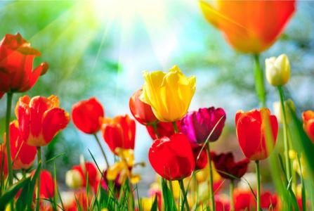 Фотообои на стену цветы -  Поле тюльпанов (flowers-0000258)
