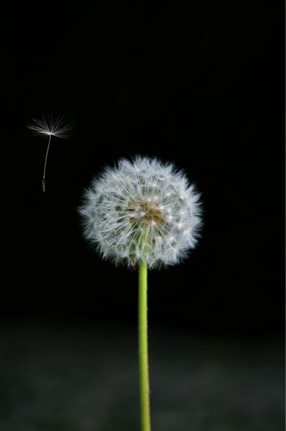 Фотообои на стену цветок - Одуванчик (flowers-0000379)