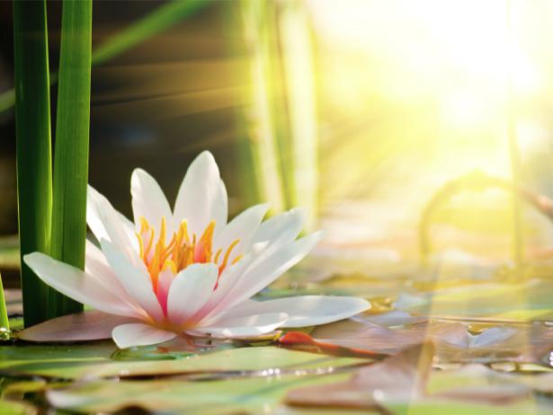Фото обои цветок лилии на воде (flowers-0000614)
