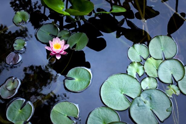 Фотообои лилии на озере (nature-00580)