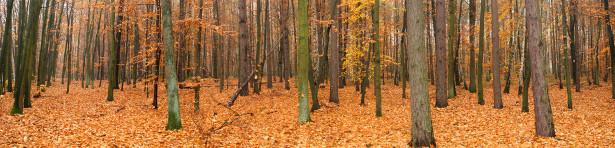 Фотообои осенний лес  панорама (panorama_0000020)