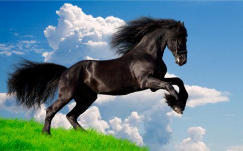 Фотообои черная лошадь (animals-0000033)