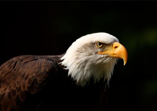 Фотообои орел на черном (animals-0000037)
