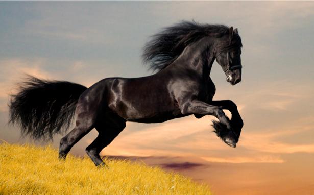 Фотообои черный конь в прыжке (animals-0000045)