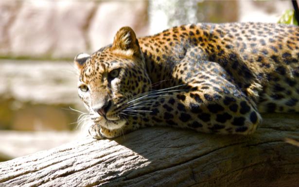 Фотообои гепард дикая природа (animals-0000054)