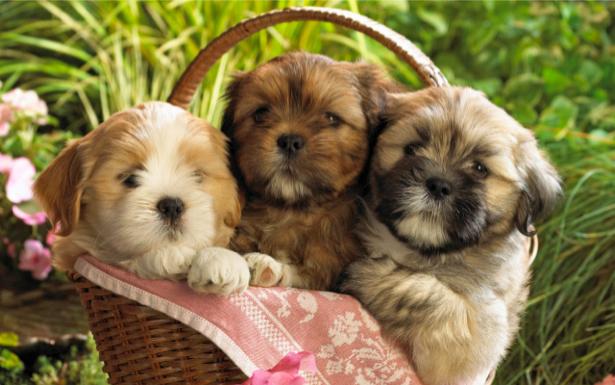 Фотообои щенок, щенята (animals-0000097)