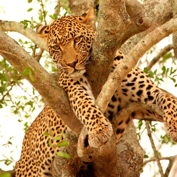 Фотообои в зал леопард на дереве (animals-0000109)