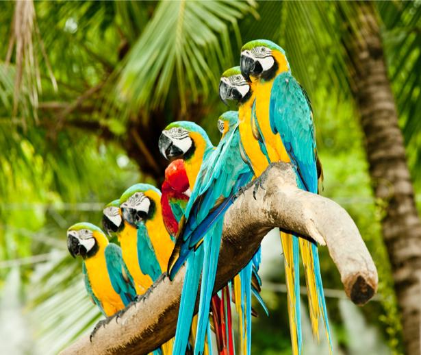 Фотообои Попугай Жако на одной ветке (animals-0000413)