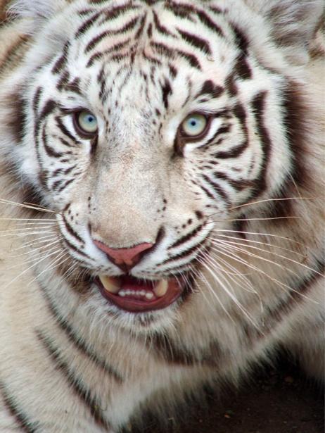 Белый тигр фотообои (animals-0000467)