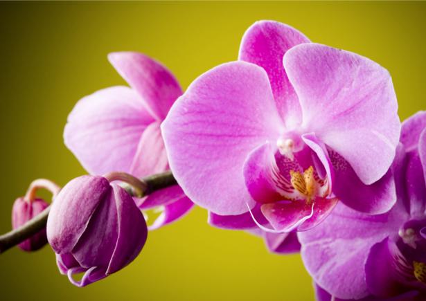 Обои для стен фото Цветущая орхидея (flowers-0000025)