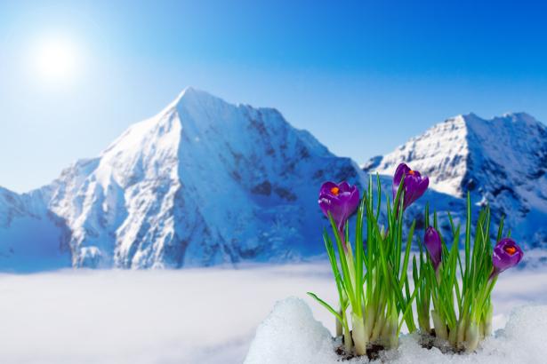 Фото обои цветок фиолетовые крокусы (flowers-0000411)