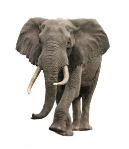 Фотообои слон фон белый (animals-0000352)