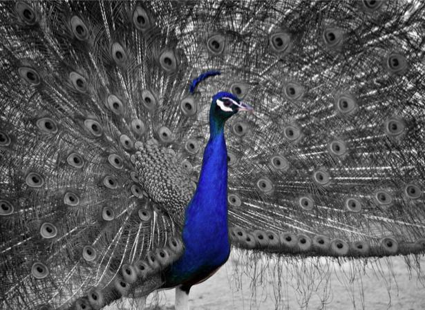 Фотообои серый Павлин (animals-0000406)