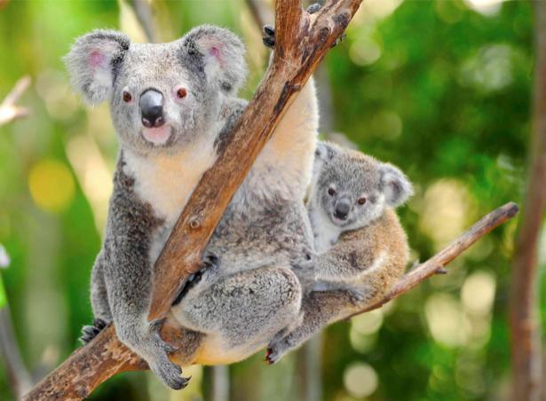 Фотообои Мишка коала (animals-0000421)
