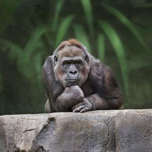 Фотообои Задумчивый горилла (animals-579)