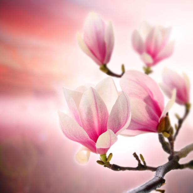 Фотообои Украина Ветка магнолии (flowers-0000001)