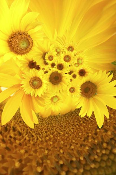 Фотообои на стену цветы -  Подсолнух (flowers-0000186)